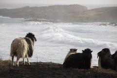 Pecore in isole faroe Immagini Stock Libere da Diritti