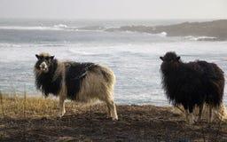 Pecore in isole faroe Fotografia Stock