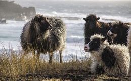 Pecore in isole faroe Fotografia Stock Libera da Diritti
