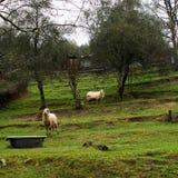 Pecore italiane tradizionali, Lunigiana Immagine Stock Libera da Diritti