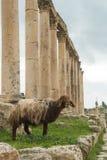 Pecore in Jerash Immagine Stock