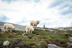 Pecore in Kjerag, Norvegia Immagini Stock Libere da Diritti
