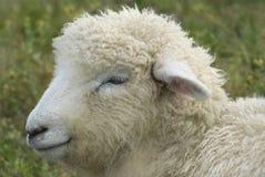 Pecore lanose Immagini Stock