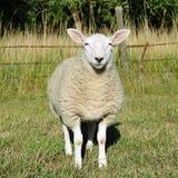 Pecore lanose bianche Immagini Stock