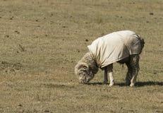 Pecore lanose in pascolo Fotografie Stock Libere da Diritti