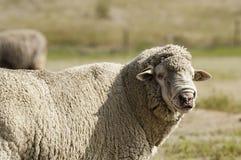 Pecore lanose in pascolo Fotografia Stock