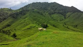 Pecore lanose sopra il rotolamento delle colline verdi Fotografie Stock Libere da Diritti