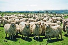 Pecore lanuginose Immagine Stock Libera da Diritti