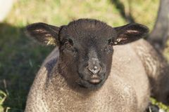 Pecore in Le Hourdel, Somme fotografia stock