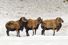 Pecore Lin una linea Immagine Stock