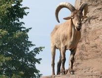 Pecore maschii di Barbary immagini stock libere da diritti