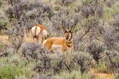 Pecore maschii di Pronghorn sulle alte pianure Fotografia Stock Libera da Diritti