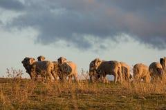 Pecore merino 2 Fotografie Stock Libere da Diritti