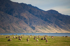 Pecore merino Fotografia Stock