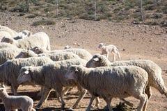 Pecore merino Immagini Stock