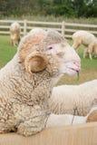 Pecore merino Fotografie Stock Libere da Diritti