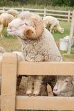 Pecore merino Immagine Stock Libera da Diritti