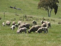 Pecore merino che pascono Immagini Stock