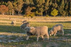 Pecore merino che pascono nel recinto chiuso immagine stock libera da diritti