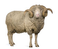 Pecore merino di Arles, ram, 5 anni Immagini Stock