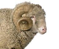 Pecore merino di Arles, ram, 5 anni fotografia stock