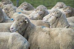 Pecore merino grasse Fotografie Stock Libere da Diritti