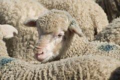 Pecore merino grasse Immagini Stock