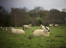 Pecore miste della razza Fotografia Stock Libera da Diritti