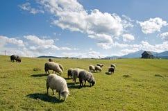 Pecore in montagna Immagini Stock Libere da Diritti