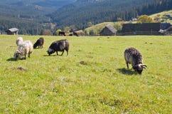 Pecore in montagna Fotografia Stock Libera da Diritti