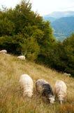 Pecore in montagna Immagine Stock Libera da Diritti