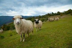 Pecore in montagna Immagine Stock