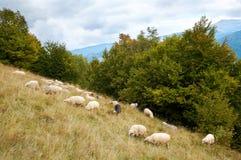 Pecore in montagna Fotografie Stock