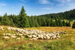 Pecore in montagna del pascolo della natura Fotografie Stock Libere da Diritti
