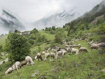 Pecore in montagne dei ecrins del DES del parco nazionale nelle alpi francesi di Alta Provenza Fotografie Stock