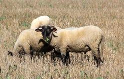 Pecore in natura Immagine Stock