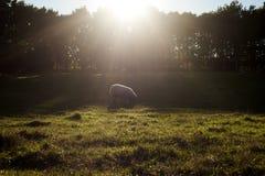 Pecore in natura Immagini Stock Libere da Diritti