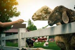 Pecore in natura Agricoltura delle pecore Immagini Stock Libere da Diritti