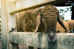 Pecore in natura Agricoltura delle pecore Fotografia Stock Libera da Diritti
