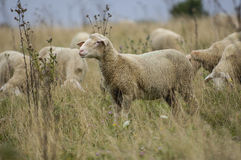 Pecore in natura sul prato Agricoltura all'aperto Fotografia Stock Libera da Diritti