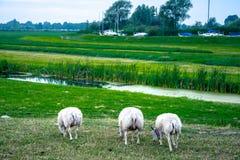 Pecore in natura sul prato Agricoltura all'aperto, Olanda Fotografia Stock Libera da Diritti