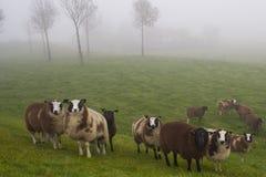 Pecore nebbiose Immagini Stock Libere da Diritti