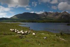 Pecore negli altopiani Fotografia Stock Libera da Diritti