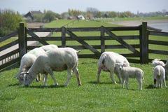 Pecore nei Paesi Bassi Fotografia Stock