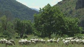 Pecore nei pascoli della montagna con alcuni alberi stock footage