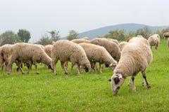 Pecore nel campo Fotografia Stock