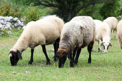Pecore nel campo Immagini Stock
