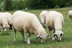 Pecore nel campo Fotografie Stock Libere da Diritti