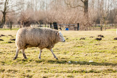 Pecore nel campo Fotografia Stock Libera da Diritti