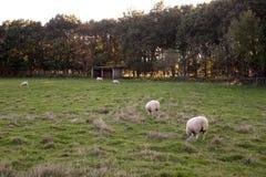 Pecore nel campo Immagine Stock